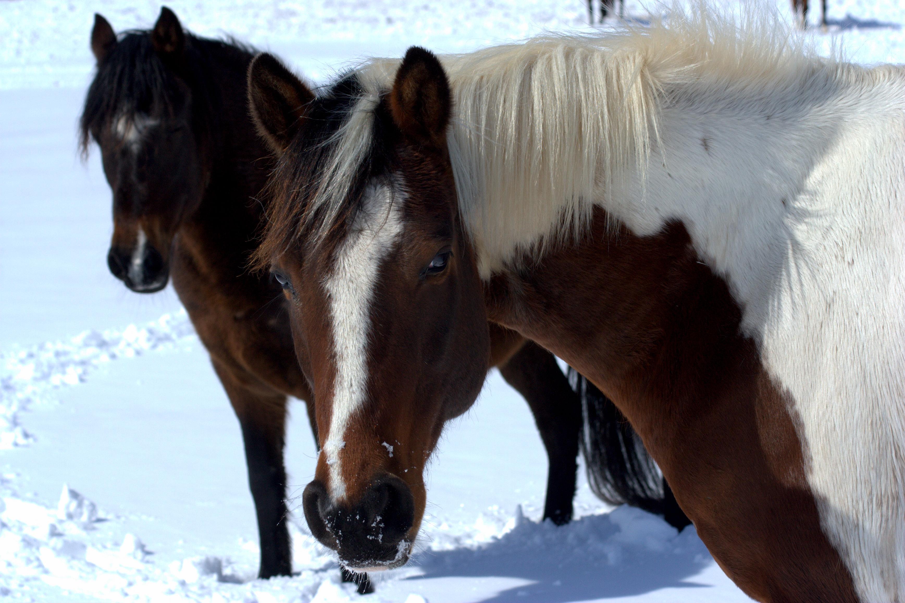 snow horse 2 060